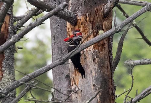 Pileated Woodpecker chicks