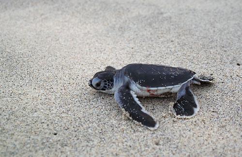 comores comoros mohéli mwali grandecomore nature environnement jeune juvénile tortue tortueverte cheloniamydas mer sable plage simonfournier 5
