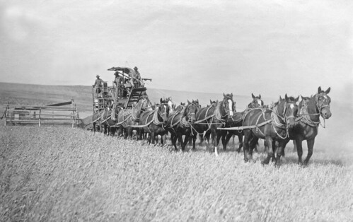 Harvesting wheat by old horse drawn method | by OSU Special Collections & Archives : Commons