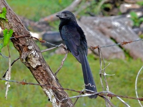Groove-billed Ani (Crotophaga sulcirostris) | by berniedup