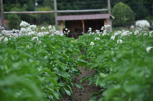 Rows of certified organic potatoes in flower on Beth Hoinacki's Goodfoot Farm | by NRCS Oregon
