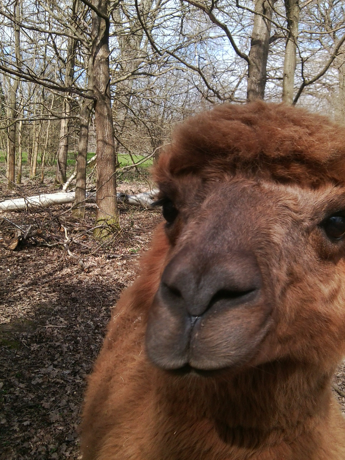 Does my nose look big in this? World's nosiest alpaca, Hever to Leigh
