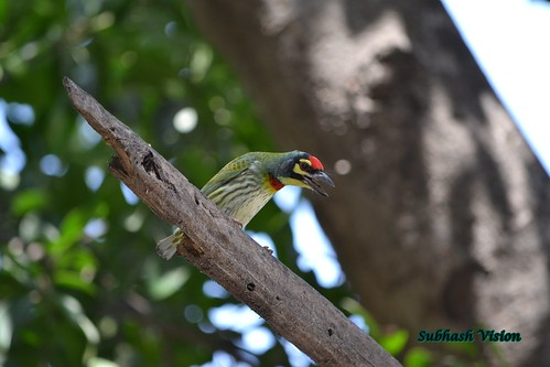 Crimson-breasted Barbet or Coppersmith (Megalaima haemacephala) | by SUBHASH VISION
