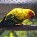 Greenville Zoo 05-24-2011 - Sun Conure 1