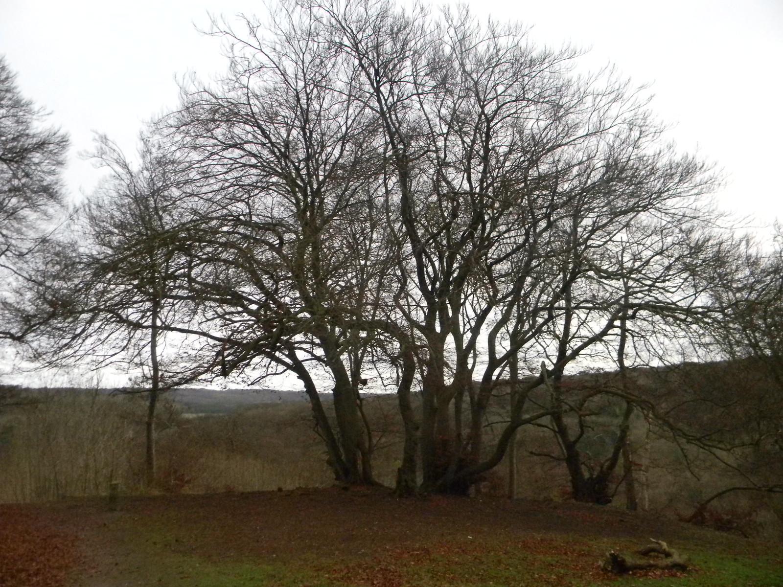 Trees on a ridge Princes Risborough to Wendover
