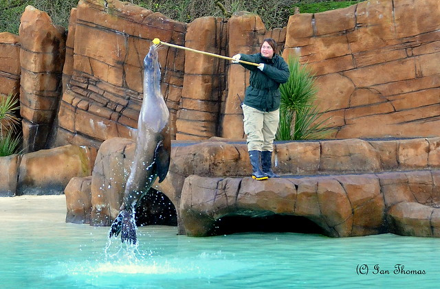 Sea Lion Jumps In Spectacular Style At Blackpool Zoo ...