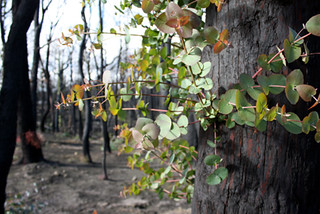 Post 2009 Bushfires_West of Kinglake 4 Vic   by Oz Nature Shots