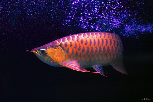 Super Red Asian Arowana Fish [Cá Huyết Long]