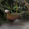 นกแว่น Grey Peacock-Pheasant by somchai@2008