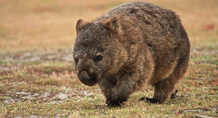 Common Wombat | by mattfrancey