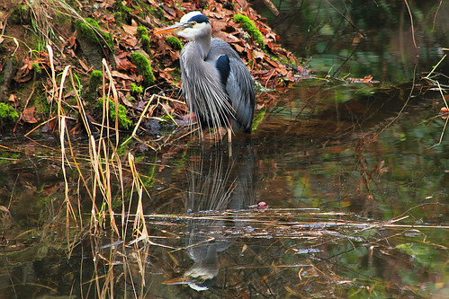 Great Blue Heron in Rock Creek in the Tualatin River National Wildlife Refuge
