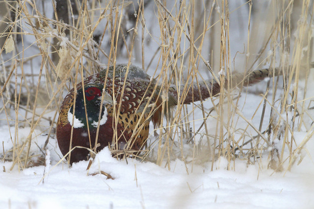 Ring-necked pheasant cock forages in snow