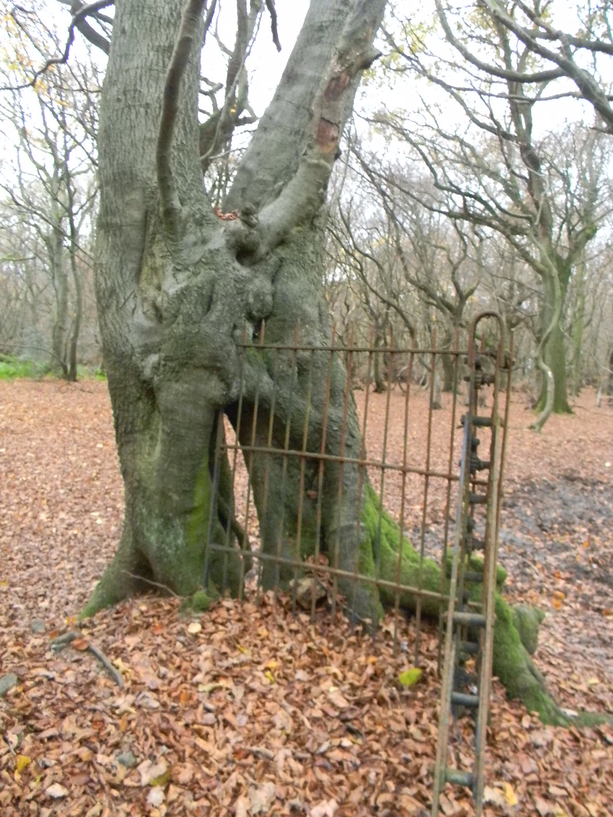 Railing embedded in Tree Mentioned in text. Princes Risborough to Wendover