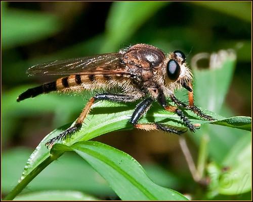 female georgia albany dougherty cohutta ellijay roybrown roybrownphotography promachusrufipesredfootedcannibalfly roycohutta