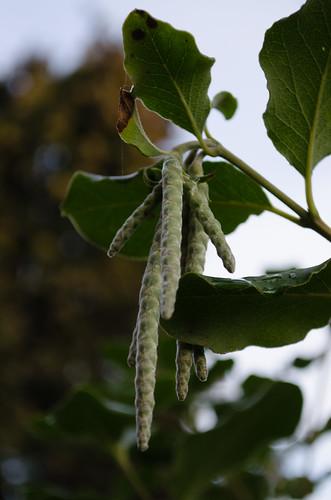 Silk tassel bush catkins