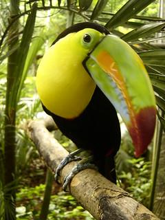 Tucan Pico Iris in Costa Rica