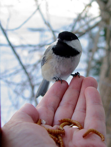 Black-capped Chickadee selecting just the right mealworm
