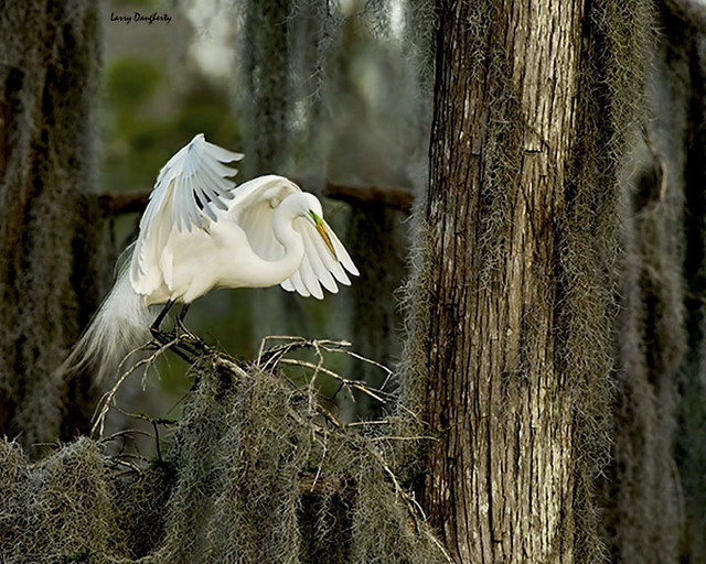 A great egret at the Lafitte Nature Park...