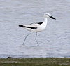 Crab plover by Gaëll