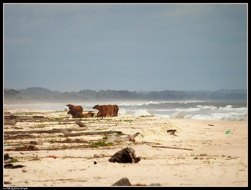 African forest buffalo on the beach / Buffle nain d'Afrique sur la plage | by julie.dewilde