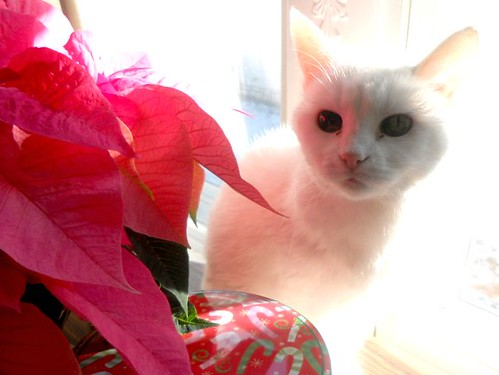 Christmas Kitty and Poinsettia | by Rochelle Hartman