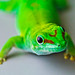 Madagascar Day Gecko - Photo (c) Schub@, some rights reserved (CC BY-NC-SA)