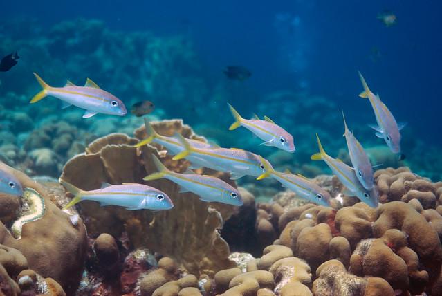 Goatfish grouping