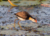Comb-Crested Jacana (Irediparra gallinacea) (adult) by Geoff Whalan