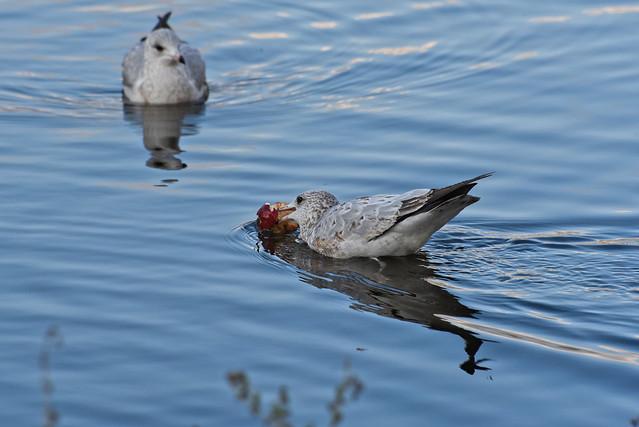 Goéland a bec cerlé ------- Ring-billed gull -------  Gaviota de Delaware