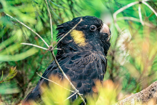 Yellow-tailed Black Cockatoo | by Serendigity