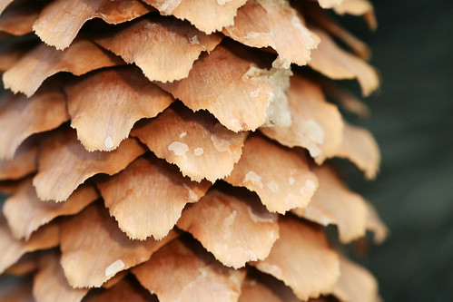 brown cold macro tree sticky evergreen fir pitch pinecone sap conifer
