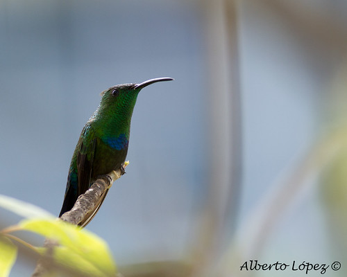 Green-throated Carib (Eulampis holosericeus) | by Alberto López