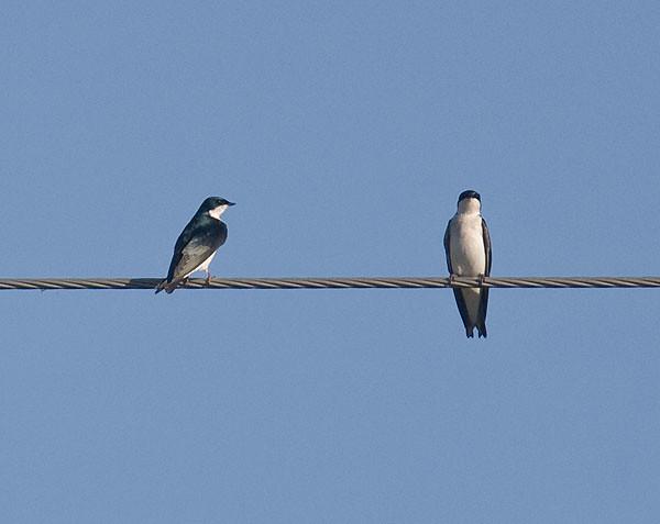 Trjásvala-Tree Swallow-Tachycineta bicolor