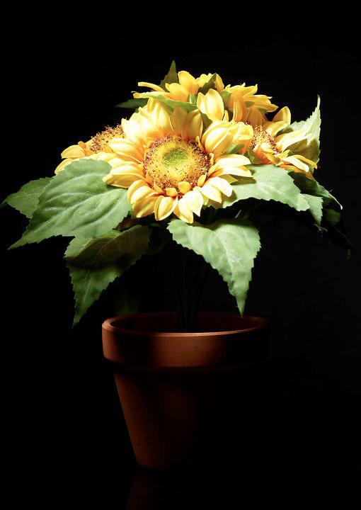 Bunga Matahari Terang Di Saat Gelap Sony Mehong Flickr