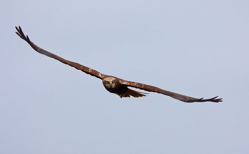 Marsh Harrier [female]
