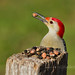 Red-bellied woodpecker by Michelle in NY