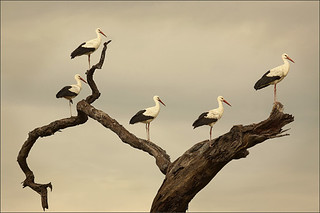 13. Tree Storks-Anthony McDonnell