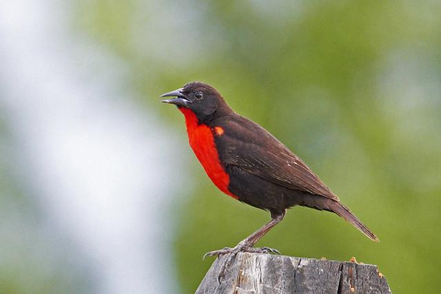 Polícia-inglesa-do-norte (Red-breasted Blackbird)