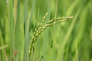 Rice Plant | by M@hieu