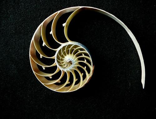 Nautilus Section