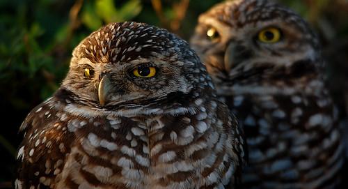 sunset wild bird nature animal florida pair naturallight owl fl davie burrowingowl athenecuniculariafloridana floridaburrowingowl pineislandpark