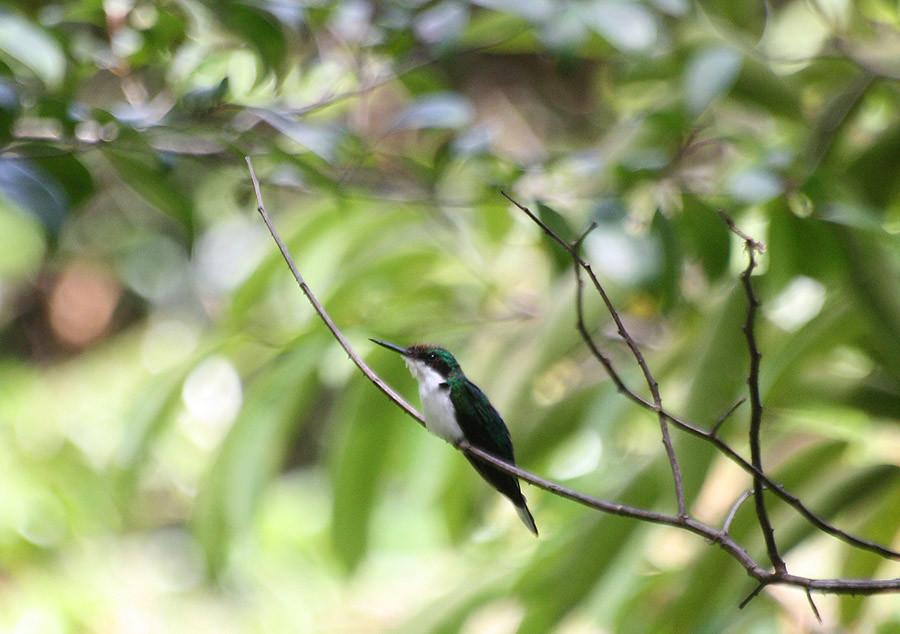 Black-eared Fairy (Heliothryx auritus)