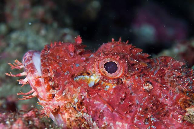 Scorpion Fish aka オニカサゴ