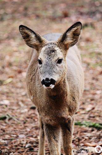 Sika Deer   by Hexagoneye Photography