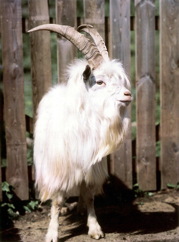 Cashmere Goat | by Johnstons - Moray Connections