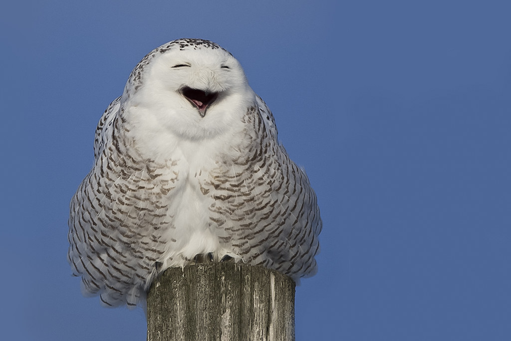 Snowy Owl Yawning - Harfang des neiges - Bubo scandiacus