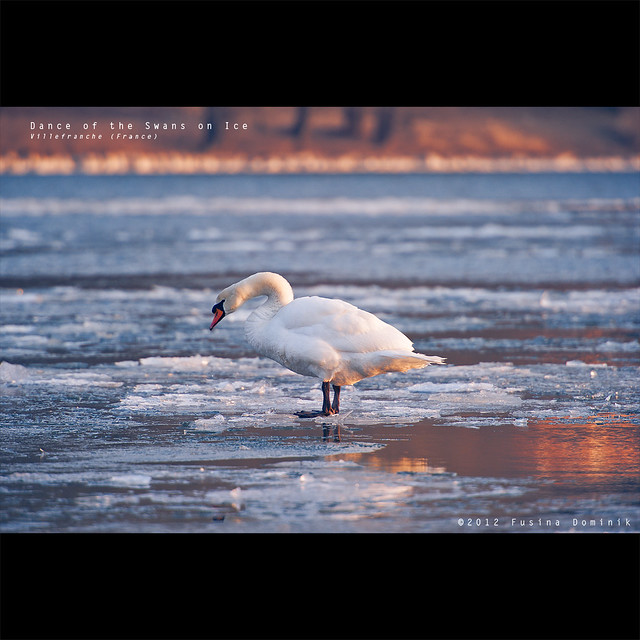 Dance of the Swans on Ice   Villefranche sur Saone (France) {explored}