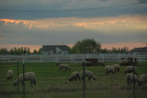 Sheep in Oakdale