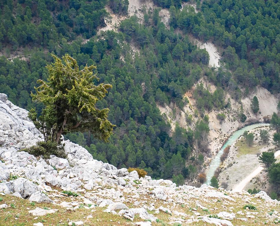 Una sabina se sostiene sobre el abismo. El río Castril se aprecia al fondo.