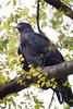 Black Eagle at Nagpur by Tarique Sani